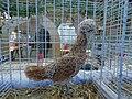 Poule padoue chamois naine 1.jpg