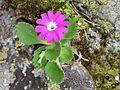 Primula hirsuta (15338831262).jpg