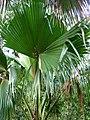 Pritchardia schattaueri (5249709041).jpg