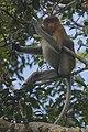 Proboscis monkey (Nasalis larvatus) - Tanjung Puting National Park - Indonesia 1.jpg