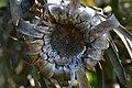 Protea neriifolia01.jpg