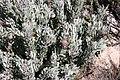 Protea pendula tonyrebelo inat10874494b.jpg