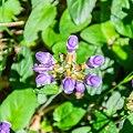 Prunella grandiflora in Aveyron (6).jpg