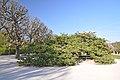 Prunus Sato-Zakura 'Shirotae' in the Jardin des Plantes, Paris 007.JPG