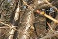 Prunus Taihaku 0zz.jpg