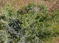 Prunus fasciculata form 2.jpg