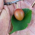 Prunus nigra 5444371.jpg