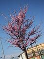Prunus persica in April in Rome 06.JPG