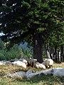 Przełęcz Puchaczówka - owce na szlaku PL.jpg