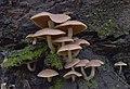 Psathyrella conissans (Peck) A.H. Sm 941370.jpg