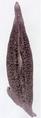 Pseudaxine trachuri (Gastrocotylidae) Body (Kearn 2014).png