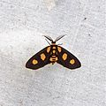 Pseudeuchromia maculifera (Geometridae- Ennominae- Hypochrosini) (22432011688).jpg