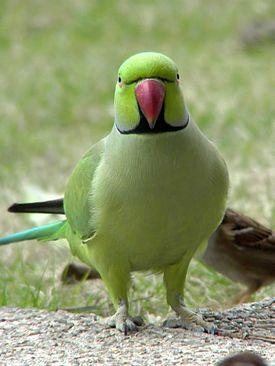 Индийский кольчатый попугай — Википедия домен это что