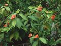 Psychotria poeppigiana 5.jpg