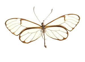 Ithomiini - Pteronomyia apuleia from Bolivia