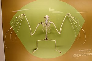 Samoa flying fox - Skeleton of a Samoa flying fox