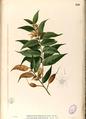 Pterospermum semisagittatum Blanco2.456-original.png