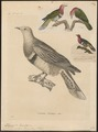Ptilinopus roseicollis - 1700-1880 - Print - Iconographia Zoologica - Special Collections University of Amsterdam - UBA01 IZ15600081.tif