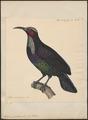 Ptilornis paradisea - 1825-1838 - Print - Iconographia Zoologica - Special Collections University of Amsterdam - UBA01 IZ16100061.tif