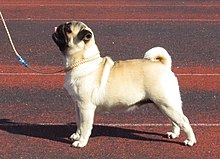 Een fawnPug puppy.