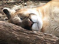 Puma Sleeping.jpg