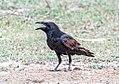 Punjab Raven (36590467474).jpg