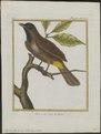 Pycnonotus tristis - 1700-1880 - Print - Iconographia Zoologica - Special Collections University of Amsterdam - UBA01 IZ16400007.tif