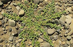 Dysphania pusilla - Image: Pygmy goosefoot 1200