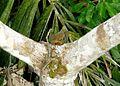 Pygmy Marmoset. Callitrichidae. Cebuella pygmaea - Flickr - gailhampshire.jpg