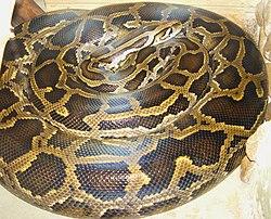 Python bivittatus тигровый питон.jpg