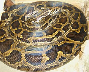 Dunkler Tigerpython (Python molurus bivittatus)
