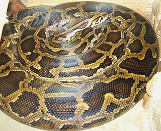 <i>Python</i> (genus) genus of reptiles