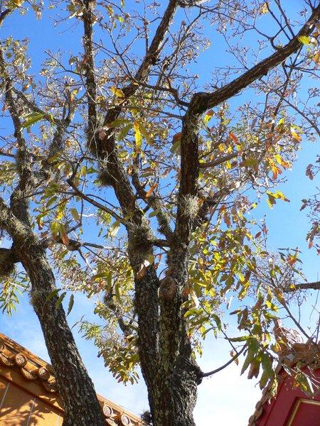 File:Quercus acutissima5.jpg