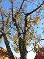 Quercus acutissima5.jpg