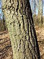 Quercus cerris sl2.jpg