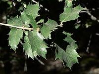 Quercus chrysolepis 08566