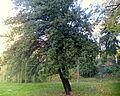 Quercus coccifera (12).JPG