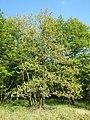 Quercus pubescens sl7.jpg