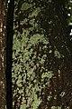Quercus rubra 32zz.jpg