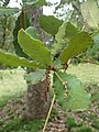 Quercus rugosa kz03.jpg