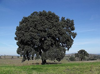 <i>Quercus suber</i> species of plant