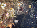 RajaAmpat dd4-5 -Night Snorkel- orbiculate cardinalfish under the dock..jpg