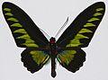 Rajah Brooke's Birdwing (Trogonoptera brookiana albescens) male (8376913640).jpg