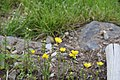 Ranunculus acris in Jardin Botanique de l'Aubrac 11.jpg