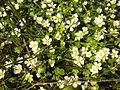Ranunculus fluitans 2601.JPG