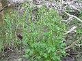 Ranunculus sceleratus1.JPG