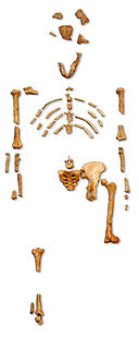 "Reconstruction of the fossil skeleton of ""Lucy"" the Australopithecus afarensis"