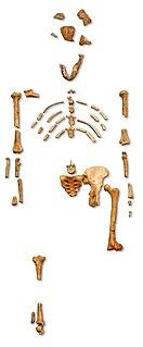 Lucy (<i>Australopithecus</i>) Skeleton of a female of the hominin species Australopithecus afarensis
