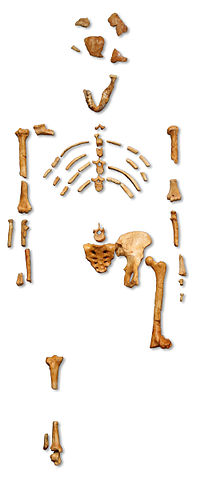 """Reconstruction of the fossil skeleton of """"Lucy"""" the Australopithecus afarensis.jpg"""