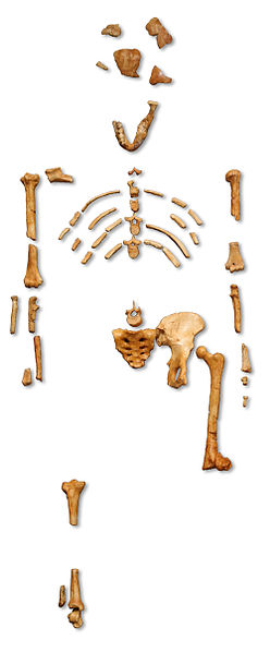 "File:Reconstruction of the fossil skeleton of ""Lucy"" the Australopithecus afarensis.jpg"